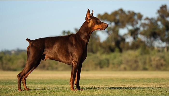 Cele mai periculoase rase de câini