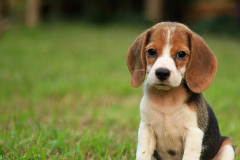 Care sunt rasele de caini hipoalergenice