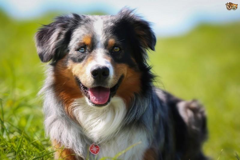 Top 10 al celor mai potrivite rase de caini pentru familiile cu copii